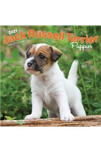 Jack Russell Terrier Puppies 2021 Square